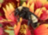 Bombus pensylvanicus - Ameican Bumble bee - (c) Copyright 2018 Paula Sharp