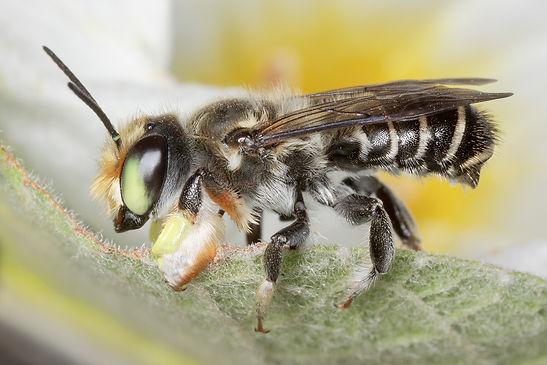 Zapatlana Leafcutter Bee - Megachile zapatlana - (C) Copyright 2018 Paula Sharp