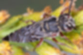 Coelioxys texanus cuckoo leafcutter bee -(c) Copyright 2019 Paula Sharp