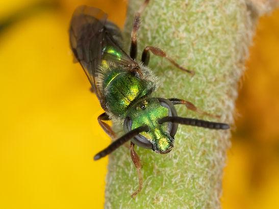 A male Augochlora aurifera sweat bee; (C) Copyright 2018 Paula Sharp