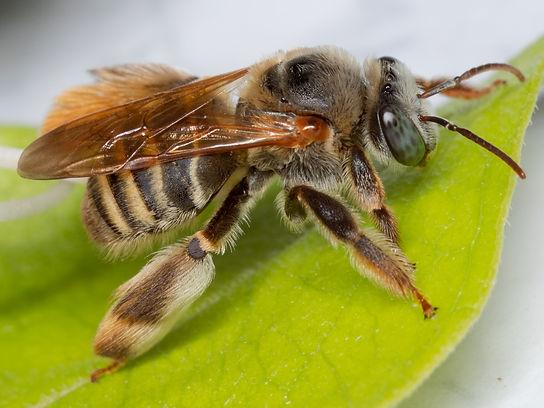 Exomalopsi mellipes - bee - (c) Copyright 2018 Paula Sharp