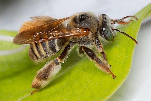 Exomalopsis bee; Exomalopsis mellipes, Exomalopsis snowi, Exomalopsis similis, Exomalopsis anilis