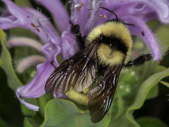 Golden Northern Bumble Bee - Yellow Bumble Bee - Bombus fervidus - (c) Copyright 2016 Sharp-Eatman photo