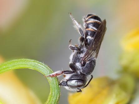 Megachile exilis; (c) Copyright 2018 Paula Sharp