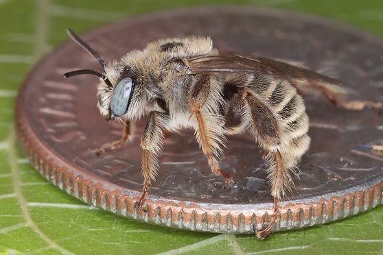 Male globe mallow bee (Diadasia diminuta) - (c) Copyright 2019 Paula Sharp