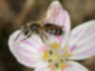 Nason's Mining Bee - Andrena nasonii - (c) 2016 Paula Sharp & Ross Eatman
