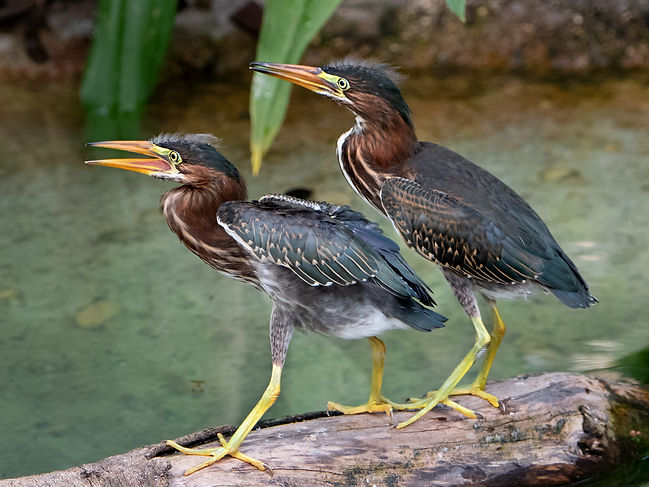 Green Heron Fledglings- (c) Copyright 2018 Ross Eatman