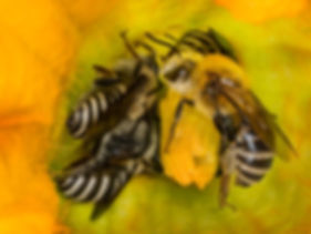 Squash Bees - Peponapis pruinosa - (c) Copyright 2016 Sharp-Eatman Photo