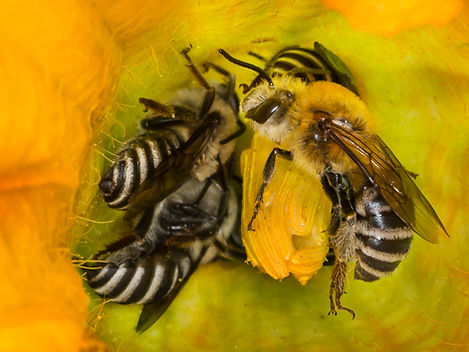Squash Bees - Peponapis pruinosa - (c) Copyright 2016 Sharp-Eatman Photo