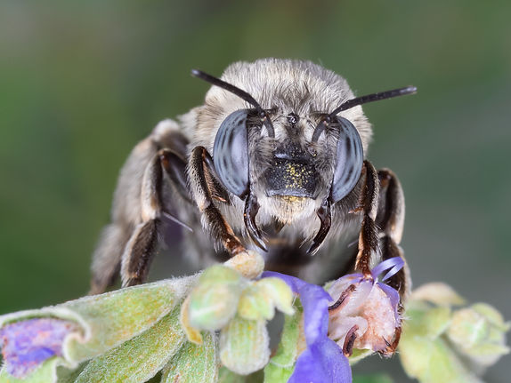 Anthophora capistrata digger bee - (c) Copyright 2019 Paula Sharp