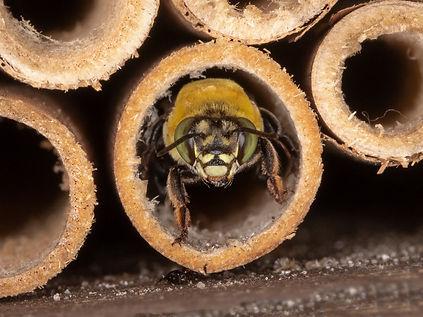 Centris nitida oil-digger bee in nest; Copyright 2021 Paula Sharp