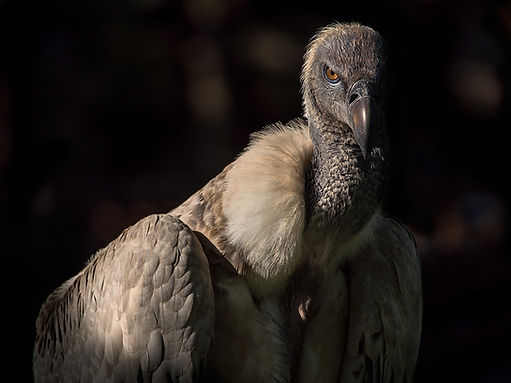 Cape Griffon Vulture (Gyps coprotheres) - (c) Copyyight 2018 Sharp-Eatman Nature Photo