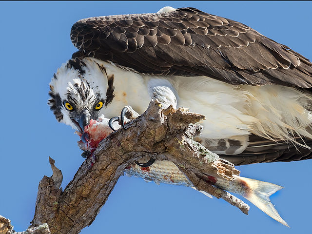 Osprey Eating Fish - Copyright (c) 2018 Paula Sharp.