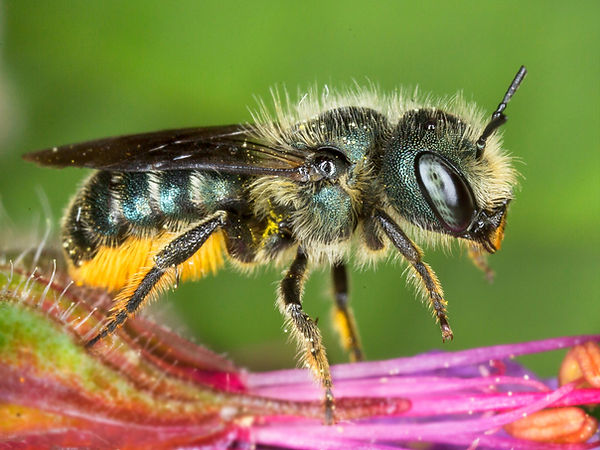 Osmia georgica Mason Bee - (c) 2016 Copyright 2015 Sharp-Eatman Photo