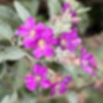WJPEG-Plant-Teabush-SQUARE--NBC-#156-Mel
