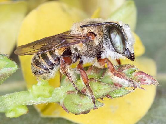 Megachile toluca; Tylomegachile; Leafcutter Bee; Copyright 2018 Paula Sharp