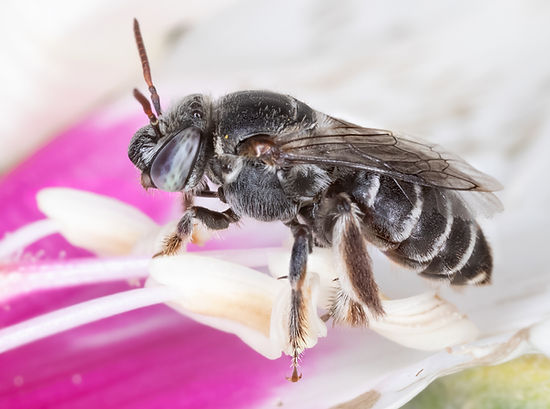 Ancyloscelis apiformis - (c) Copyright 2018 Paula Sharp