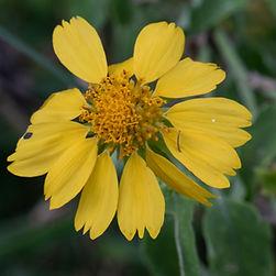 Cowpen daisy (Verbesina enceloides)