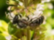 Wilkes Andrena Mining Bee (male) - Andrena Wilkella - (c) Copyright 2015 Sharp-Eatman photo