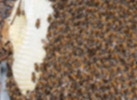 Honey Bees Shiverig outside a have - (c) 2018 Paula Sharp