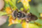 Triepeolus rufoclypeus - (c) Copyright 2019 Paula Sharp
