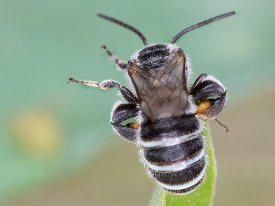 Nomia tetrazonata - Pearly-banded bee - (c) Copyright 2019 Paula Sharp