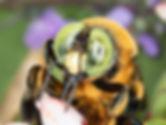 Xylocopa micans southern carpener bee; (c) Copyright 2020 Paula Sharp
