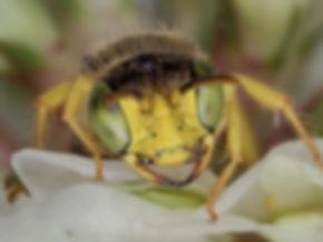 Calliopsis andreniformis Mining Bee - (c) 2017 Paula Sharp