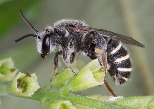Nomia tetrazonata  bee - (c) Copyright 2019 Paula Sharp