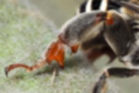 Anthophora californica digger bee leg - (c) Copyright 2018 Paula Sharp