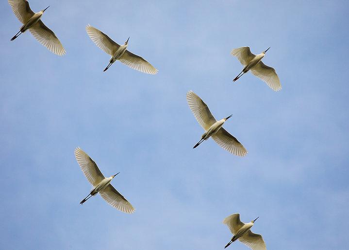 Snowy Egrets - Copyright (c) 2018 Paula Sharp.