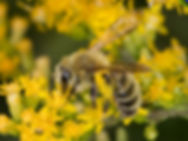 Hairy-banded Mining Bee - Andrena hirticincta - (c) Copyright 2016 Sharp-Eatman Photo