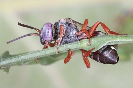 Epeolus pusillus cuckoo bee - (c) 2018 Paula Sharp