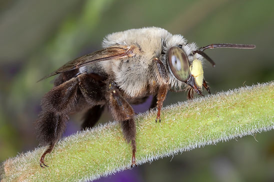 Centris atripes oil-digger bee - (c) Copyriht 2019 Paula Sharp