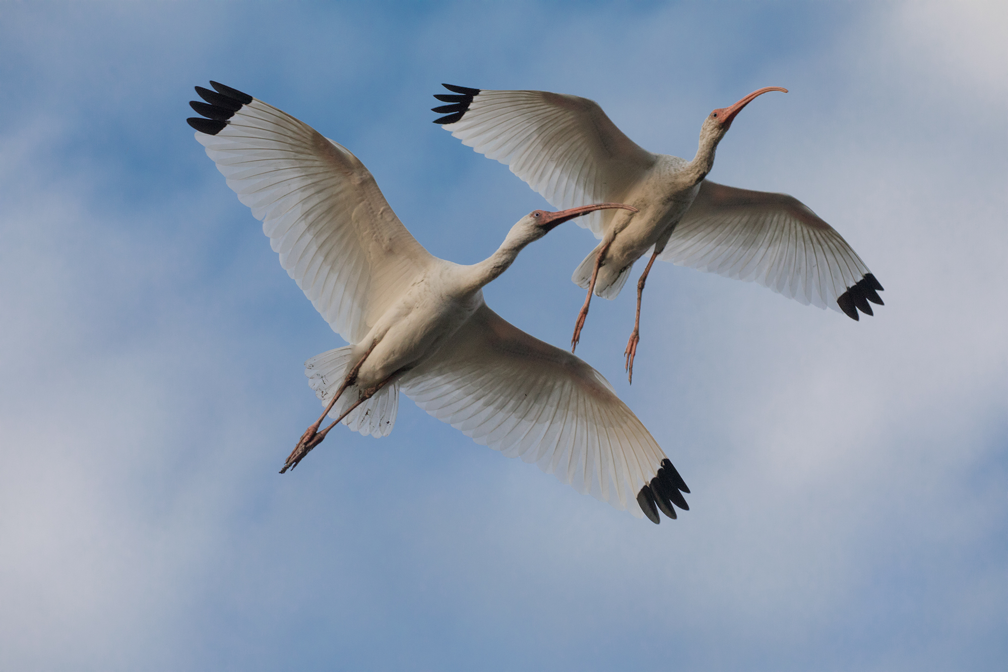 WJPEGTwo-Ibis-in-Flight-SF-293A4014