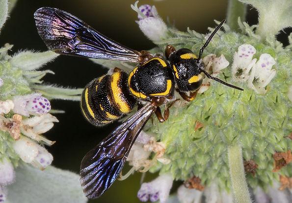 Stelis louisae Cuckoo Bee (c) Copyright 2015 Sharp-Eatman Photo