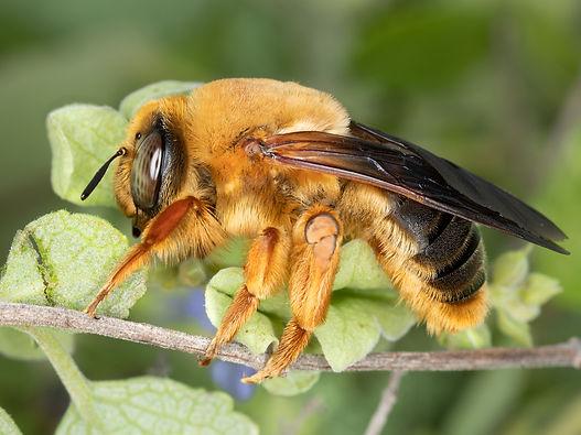 Protoxaea gloriosa bee; Copyright 2021 Paula Sharp