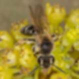 Miserable Andrena Bee (female) - Andrena miserabilis - (c) 2017 Paula Sharp & Ross Eatman