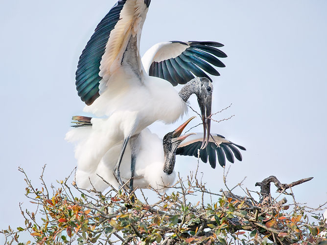 Nesting Wood Stork Pair - Copyright (c) 2018 Paula Sharp