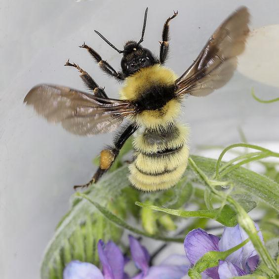 Golden Northern Bumble Bee - Yellow Bumble Bee - Bombus fervidus - (c) Copyright 2017 Sharp-Eatman photo