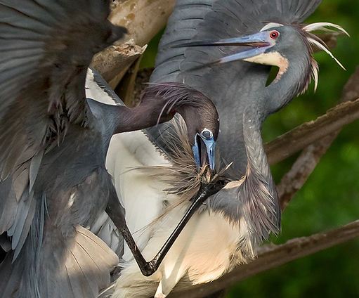 nictitating membrane - bird - tri-colored heron