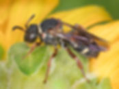 Epeolus bifasciatus Cuckoo Bee (c) Copyright 2017 Sharp - Eatman Photo