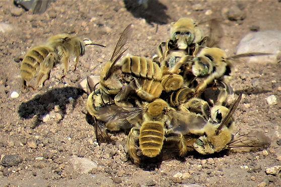 Diadasia rinconis scrum or beeball; chimney bees; (c) Copyright 2020 John Yochum