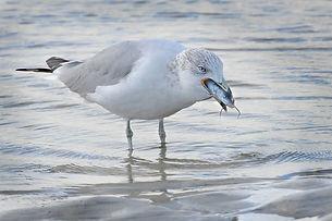 Ring-billed gull (first winter)
