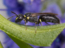 Yellow-faced Bee Masked Bee Hylaeus modestus modestus - (c) Copyright 2017 Sharp-Eatman Photo