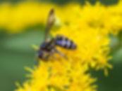Cloudy-Winged Mining Bee - Andrena nubecula - (c) Copyright 2015 Sharp-Eatman Photo
