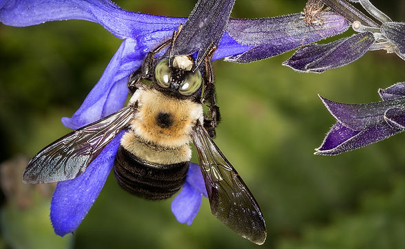Eastern Carpenter bee male - Xylocopa virginica virginica - (c) Copyright 2016 Sharp-Eatman Photo