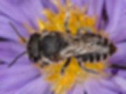 Alfalfa Leafcutter Bee - Megachile rotundata - (c) Copyright 2016 Sharp-Eatman Photo