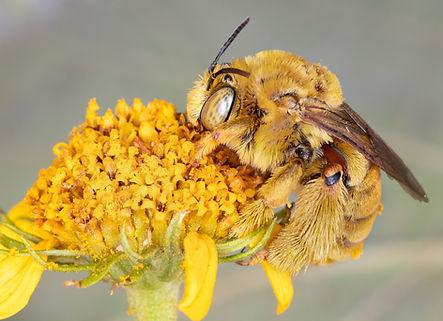 Svastra sabinensis long-horned bee - (C) Copyright 2018 Paula Sharp