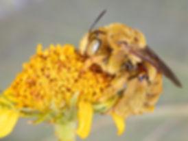 Svastra sabinensis long-horned bee; (c) Copyright 2018 Paula Sharp)